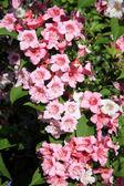 Weigela różowe kwiaty — Zdjęcie stockowe