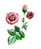 Rose. Botany — Stock Photo