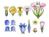 Stamens and pistils. Botany — Stock Photo