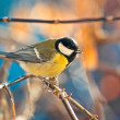 Great titmouse on a branch — Stock Photo #63759929