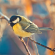 Great titmouse on a branch — Stock Photo #63759957