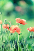 Tender pink poppy with drops on green background closeup — Stock Photo
