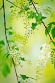 Bird cherry tree in blossom — Stock Photo