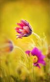 Spring flower. Pasque flower - Pulsatilla patens, Flower Sleep - grass — Stock Photo