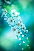Bird cherry tree in blossom on blue tone — Stock Photo