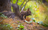 Squirrel eating pine nuts on the forest — Stock Photo