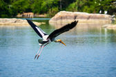 Painted Stork in flight — Stock Photo