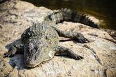Basking crocodile — Stock Photo