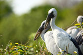 Perching Storks — Stock Photo