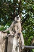 Langur Monkey — Zdjęcie stockowe