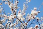 White spring apricot flowers — Stock Photo