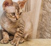 Devon Rex breed cat — Zdjęcie stockowe