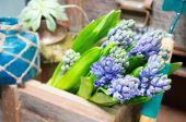 Stilleven met hyacint in vintage kast hout op rustieke inte — Stockfoto