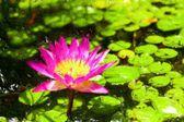 окрашенные море лили — Стоковое фото