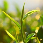 Broto de chá verde e folhas frescas. — Fotografia Stock