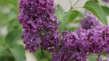 Lilacs blooming 1080p — Stock video