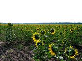 Sunflower on fields  — Stock Photo