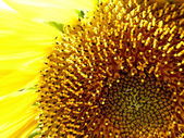 Sunflower core — Stock Photo