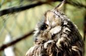Small Owl — Stock Photo