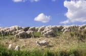Sheeps and blue sky — Stockfoto