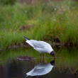 Black-headed gull searching food in water — 图库照片 #65919001
