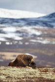 Sleeping musk ox on Dovrjefell mountains — Stock Photo