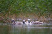 Mute swan chicks — Stock Photo