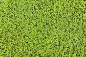 Clover carpet — Stock Photo