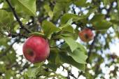 Tempting Red Apples on the apple tree. Apples close-up — Stock Photo
