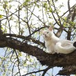 White cat with blue eyes climbs a tree — Stock Photo #73965233
