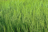 Thickets horsetail — Stock Photo