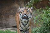 Tygr. — Stock fotografie