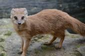 Mongoose. — Stock Photo