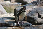 Penguin. — Stock Photo