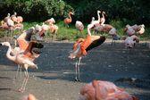 Flamingo. — Stock Photo