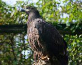 águila. — Foto de Stock