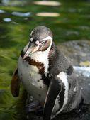 Pinguino. — Foto Stock