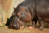 Hippo. — Stock Photo