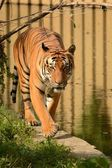 Tigre. — Fotografia Stock