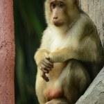 Monkey — Stock Photo #54366905