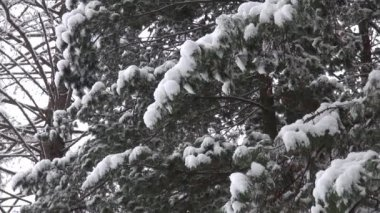 Snow covered tree branch. Christmas or natural background — Stockvideo