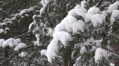 Snow covered tree branch. Christmas or natural background — Video Stock
