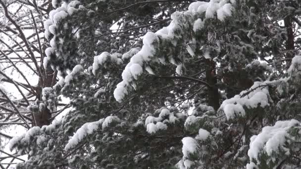 Snow covered tree branch. Christmas or natural background — Vidéo