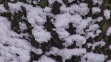 The snow-covered bark of a tree falling snow — Stock Video