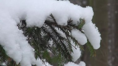 Snow-covered fir tree branch in the snow — Stock Video