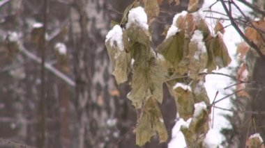 Dry snow covered leaves during a snowfall — Stock Video