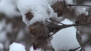 Snowy dry thorn in winter closeup — Stock Video