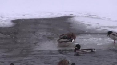 Ducks on the ice and ice-free pond — Stock Video