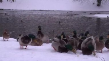 Ducks feed on the snow-covered shore in ice-free pond — Stock Video