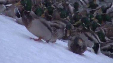 鸭饲料,岸上雪覆盖在不结冰的池塘 — 图库视频影像